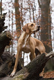 Pointer dog Stock Images