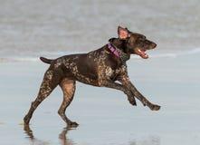 Pointer dog running on beach stock photography