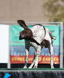 Pointer Dog shaking off water Stock Photography