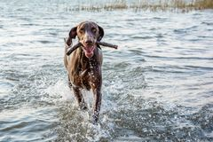 Pointer dog splashing water playing fetch. Brown Pointer dog running in shallow water, playing fetch with a stick royalty free stock photos