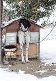 Pointer dog is standing in front of his doghouse in winter. Pointer dog is standing in front of his doghouse under an olive tree in winter Royalty Free Stock Photography