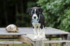 Pointer Hound mixed breed puppy dog with flea collar. Male black and white Pointer Hound mixed breed puppy dog, flea collar. Animal Shelter adoption photoraphy stock photos