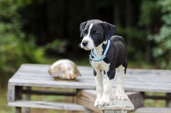 Pointer Hound mixed breed puppy dog with flea collar. Male black and white Pointer Hound mixed breed puppy dog, flea collar. Animal Shelter adoption photoraphy royalty free stock image