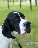 Pointer (hunter dog). With serious look Royalty Free Stock Image
