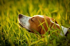 Pointer on Hunting. Dog smell bird. Field and Sunset Stock Images
