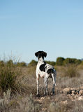 Pointer hunting dog. Black and white pointer hunting dog in full alertness Stock Images
