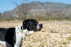 Pointer hunting dog. Black and white pointer hunting dog in full alertness Stock Image