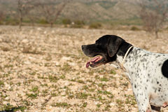 Pointer hunting dog. Black and white pointer hunting dog in full alertness Royalty Free Stock Photography