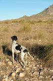 Pointer hunting dog. Attentively sniffing for quails Royalty Free Stock Image