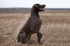 Pointer hunting dog Stock Photos