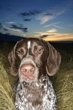 Pointer laying grassy field Royalty Free Stock Images