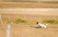 Pointer pedigree dog running Royalty Free Stock Photo