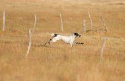 Pointer pedigree dog running Stock Photo