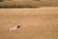 Pointer pedigree dog running Royalty Free Stock Image