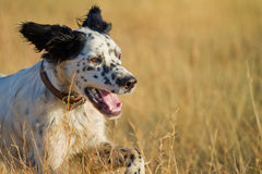 Pointer pedigree dog running closeup Royalty Free Stock Images