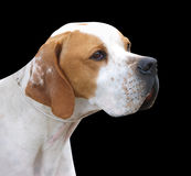 Pointer Portrait Stock Photo