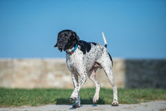 Pointer portrait. Pointer with black head  running slow Stock Images