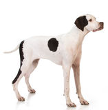Pointer Stock Photography
