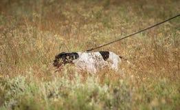Pointeru pies z właściciel patką w krzaku zdjęcie royalty free