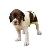 pointeru psi zarodowy szczeniak zdjęcia stock
