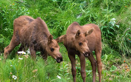 Pointing Moose Twin Calves Stock Photo