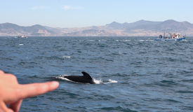 Pointing the pilot whale Royalty Free Stock Image