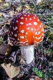 Points rouges et blancs d'agaric de mouche de polka Photographie stock