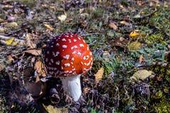 Points rouges et blancs d'agaric de mouche de polka Photo libre de droits