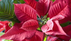 Pointsettia. Red pointesettia flower during the holidays royalty free stock image