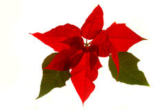 Pointsettia - Christmas flower Stock Photography