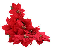 Pointsettias Royalty Free Stock Photo
