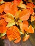 Pointsettias anaranjado foto de archivo libre de regalías