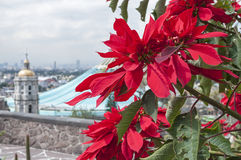 Pointsettias at the Basilica of Guadalupe Royalty Free Stock Image