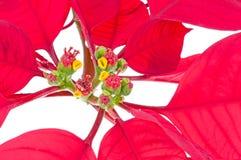 Pointsettias. Christmas poinsettia on white background Stock Photography