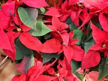 Pointsettias on display. Poinsettias plants on display in flower store Stock Images