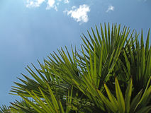 Pointy. Leaves of fan palm trees, with blue sky for background stock photo