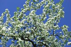 Poire-arbre de floraison Image libre de droits