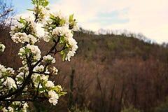 Poire de fleur Image libre de droits
