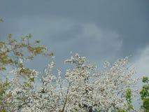 Poire de floraison contre le ciel orageux Photo stock