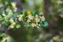 Poire fleurissante avec des mouches sur la fleur Photographie stock