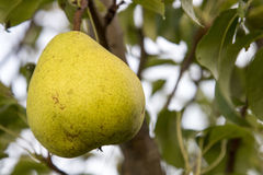 Poire jaune sur l'arbre Images libres de droits