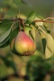 Poire sur l'arbre Image libre de droits