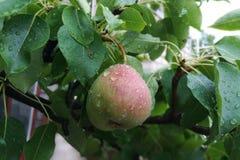 Poire sur un arbre dans les gouttes de l'eau photographie stock libre de droits