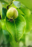 Poire verte dans un arbre Photo libre de droits