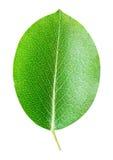 Poire verte de feuille d'isolement sur le fond blanc Image libre de droits