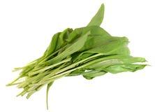 Poireau sauvage, †d'ursinum d'allium «connu sous le nom de ramsons Photographie stock libre de droits