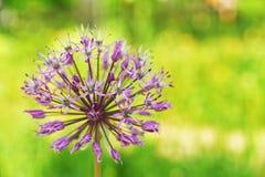 Poireau sauvage de floraison Image stock