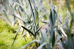 Poireaux photos stock