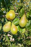 Poires délicieuses brillantes pendant d'une branche d'arbre dans le verger Photographie stock libre de droits