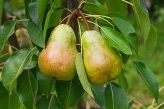 Poires délicieuses brillantes pendant d'une branche d'arbre dans le verger Photo stock